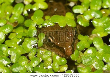 frog in water floats with small lilies