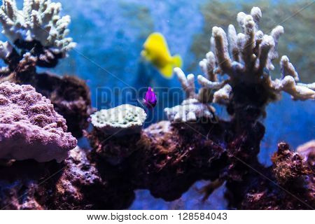 Color Tropical Fish among coral in Aquarium