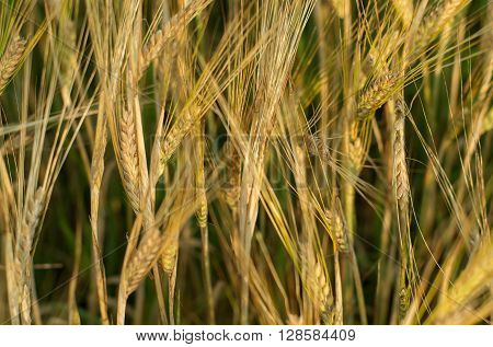 Wheat in the field. The beautiful background.