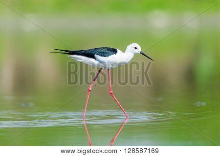 Black winged stilt in a pond in Piedmont