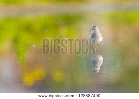 Green sandpiper reflecting in a pond with blurry background