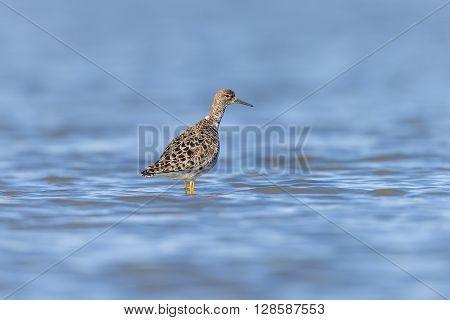 Ruff On A Pond