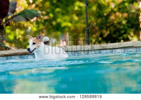 Adorable white terrier dog in a beautiful swimming pool with copy-space.
