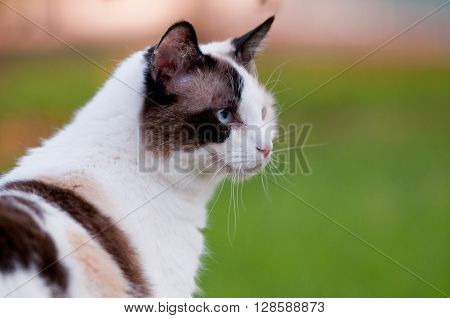 Close up of gorgeous kitty outdoors in nature with green grass in the background.