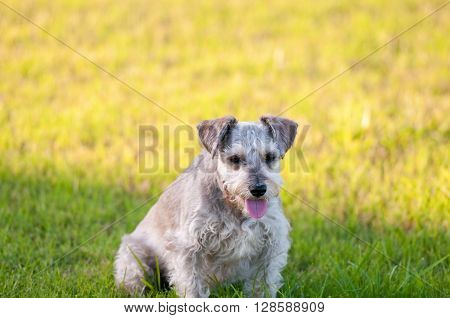 Cute gray schnauzer dog looking sideways in green grass and yellow sunshine in background.