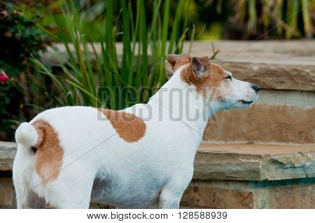 Jack russell terrier pet squinting eyes next to landscape stone backyard.