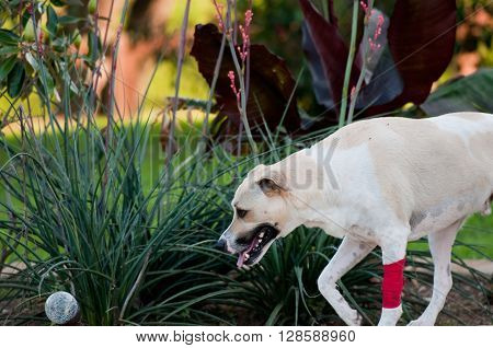 White and tan dog with red bandage outdoors.