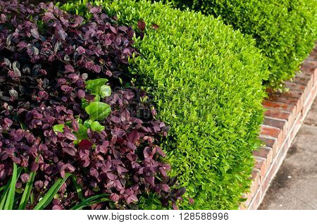 Green and violet plants in a residential flower bed.