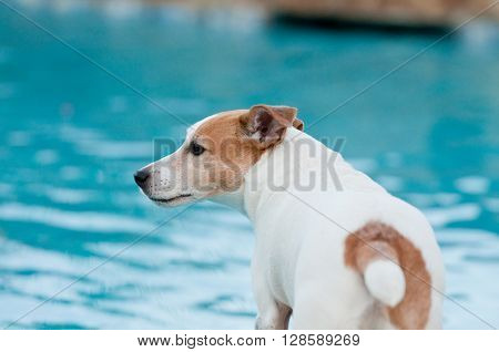 Adorable white terrier dog in a beautiful swimming pool.