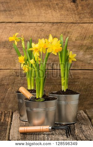 Daffodils in metal containers against a rustic barnboard background.