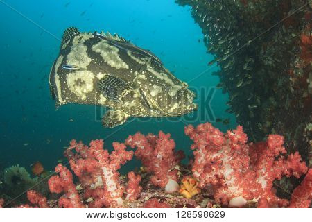 Marbled Grouper fish and coral in ocean