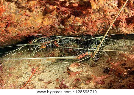 Live lobsters hide in hole in coral reef underwater