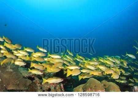 School of snappers fish in blue ocean