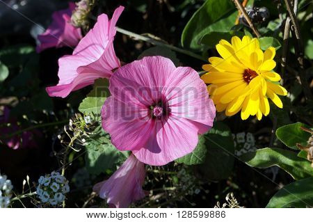 A rose mallow (Lavatera trimestris) blooms next to a marigold in the Wildflower Park in Naperville, Illinois during November.