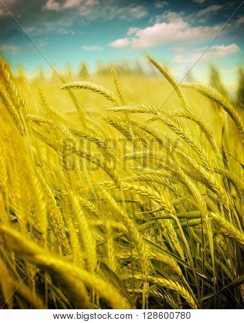 wheat, closeup