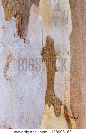 Eucalyptus tree bark texture and background. Tree bark.