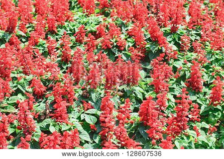 colorful of red salvia flower in the garden