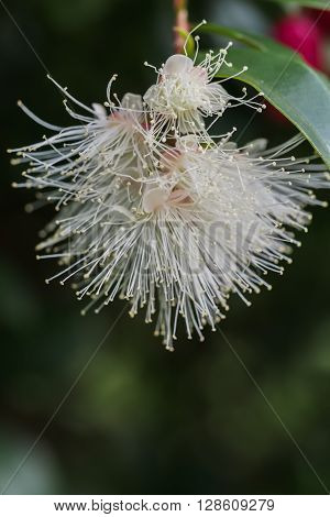 Lilliy Pilly flowers in closeup, a native Australian plant