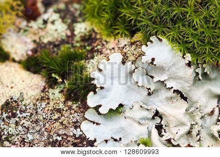 Lichen and moss growing on a rock, in closeup