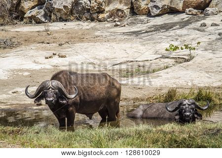 Specie Syncerus caffer family of bovidae,  african buffalo in the river in Kruger park, South Africa