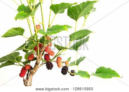 the red Mulberry fruit on the tree