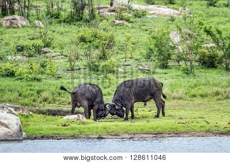 Specie Syncerus caffer family of bovidae, two african buffalos in the riverbank, fighting in Kruger park, South Africa
