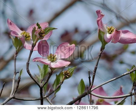 Pink dogwood flowers with a blurred background ** Note: Soft Focus at 100%, best at smaller sizes