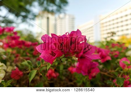 Bougainvillea is pink flowers in Thailand, Bougainvillea flowers on a background of the buildings and the sky.
