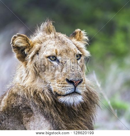 Specie Panthera leo family of felidae, young male lion look, Kruger park, South Africa
