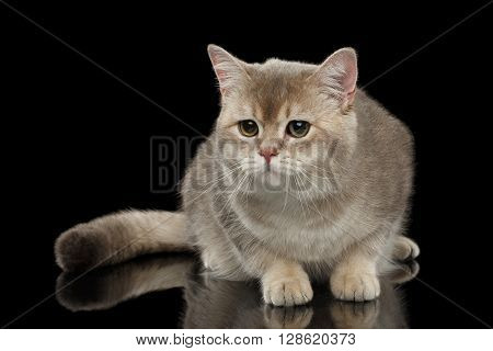 Sad British Cat with a Fluffy tail Looking forward isolated on Black Background