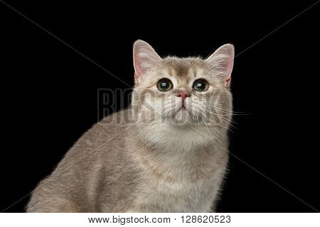 Closeup Portrait of Adorable British Cat with green eyes Looking up isolated on Black Background