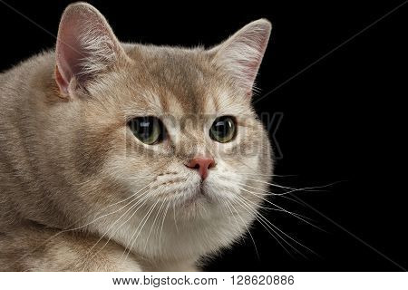 Closeup head of Angry Red British Cat with green eyes isolated on Black Background