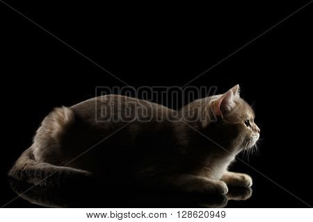 Side view of Adorable British Cat Lying and Looking forward isolated on Black Background Low key