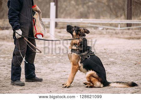 German Shepherd Dog Training. Biting Alsatian Wolf Dog. Close Up
