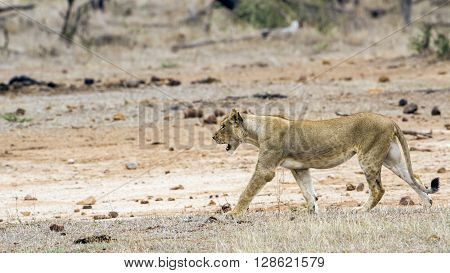 Specie Panthera leo family of felidae, lions in Kruger Park, South Africa