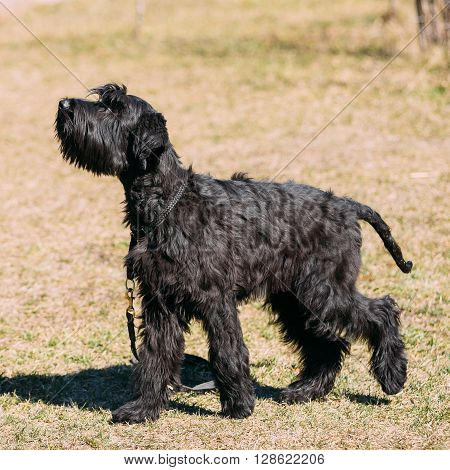 Black Giant Schnauzer or Riesenschnauzer dog outdoor