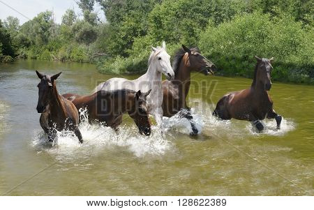 Group of horses galloping on the water quickly