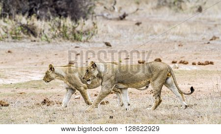 Specie Panthera leo family of felidae, family of lions in Kruger Park