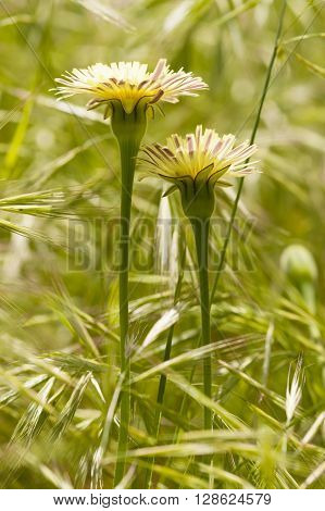 Dandelion Taraxacum yellow flowers in full bloom