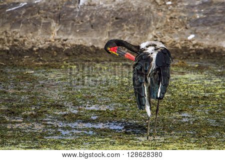 Specie Ephippiorhynchus senegalensis family of Ciconiidae, saddle-billed stork in Kruger Park