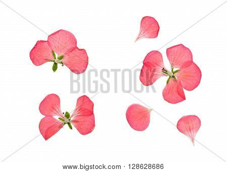 Pressed and dried delicate pink flowers and petals of geranium (pelargonium). Isolated on white background.