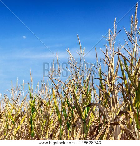 Wheat growing in farm field under blue sky ** Note: Visible grain at 100%, best at smaller sizes