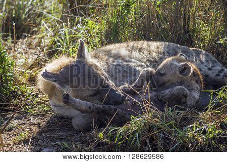 Specie Crocuta crocuta family of Hyaenidae, family of spotted hyaena in Kruger Park