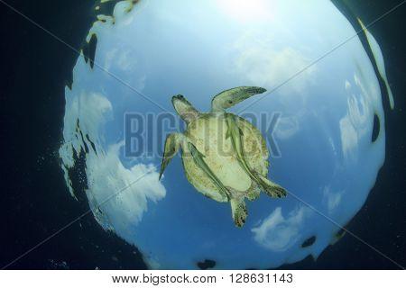 Green Sea Turtle and Remora fish