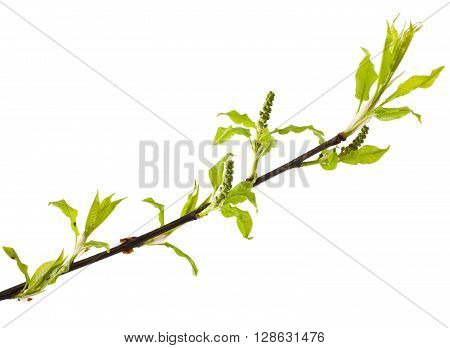 Bird cherry stem with buds isolated on white background. Prunus padus