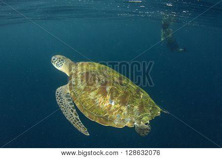 Sea Turtle and Snorkeler