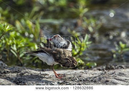 Specie Charadrius tricollaris family of Charadriidae, Three-banded, Wading