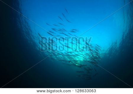 Blackfin Barracuda fish school in blue ocean
