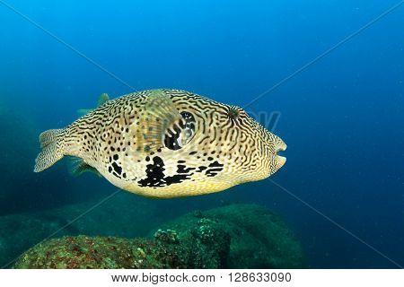 Map Puffer fish