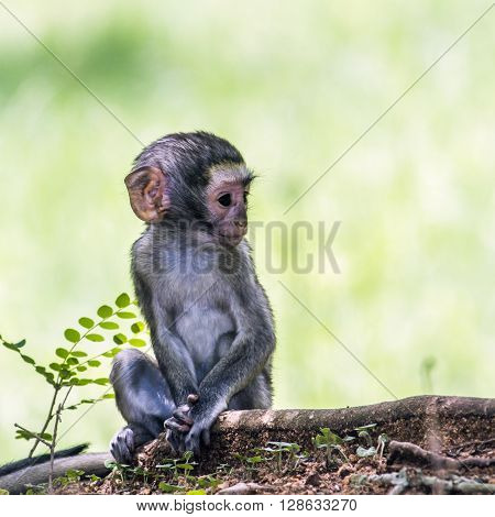 Specie Chlorocebus pygerythrus family of Cercopithecidae, baby vervet monkey in Kruger park, South Africa ** Note: Soft Focus at 100%, best at smaller sizes